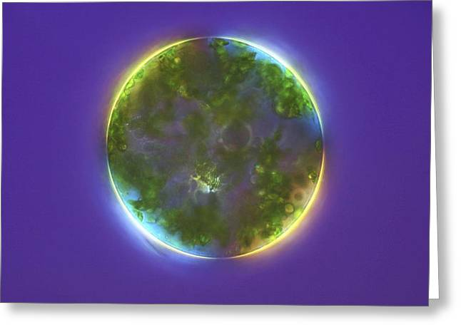 Single-celled Greeting Cards - Green Alga, Light Micrograph Greeting Card by Frank Fox