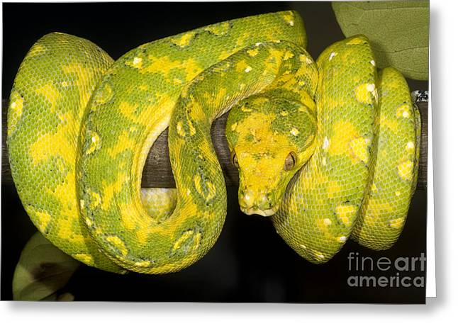Green Tree Python Greeting Card by Dante Fenolio