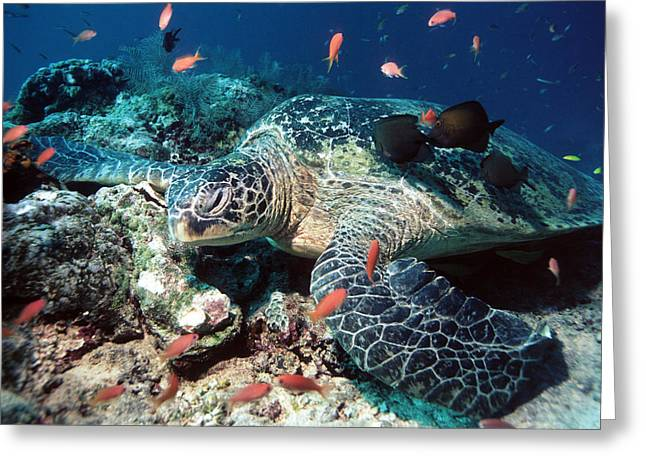 Protected Sea Life Greeting Cards - Green Turtle Greeting Card by Georgette Douwma