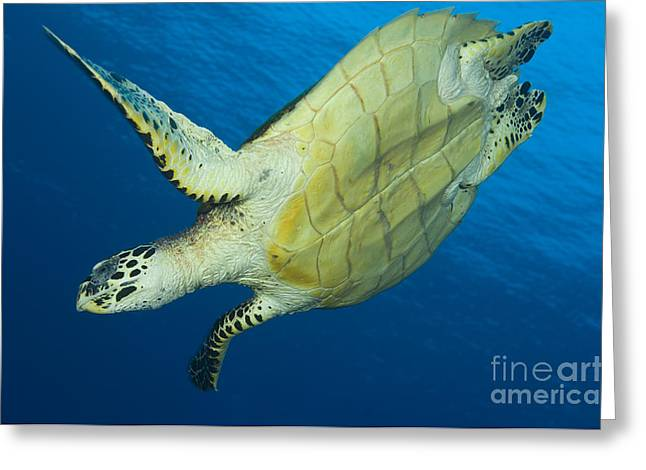 Hawksbill Turtle In The Diving Greeting Card by Steve Jones