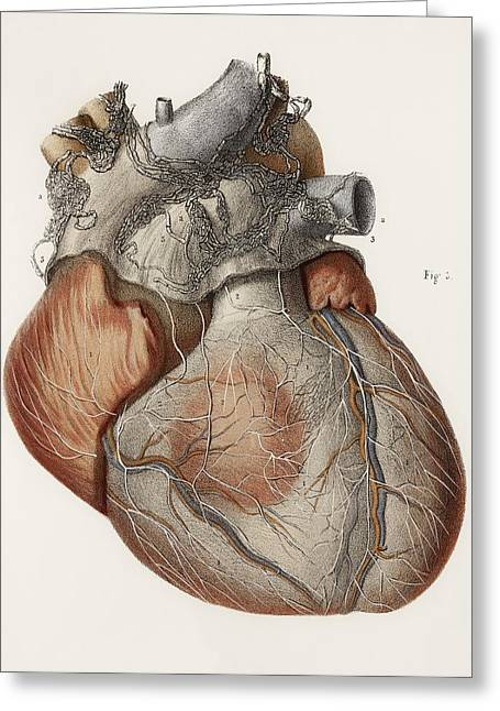 Hand-colored Lithograph Greeting Cards - Heart Anatomy, 19th Century Illustration Greeting Card by