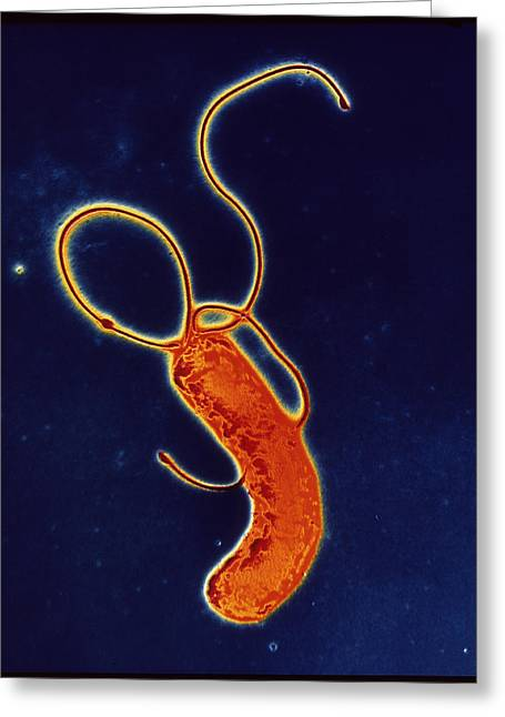 Microbiology Greeting Cards - Helicobacter Pylori Bacteria Greeting Card by A.b. Dowsett