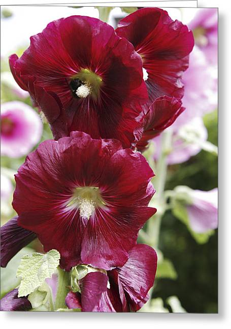 Pink Althea Greeting Cards - Hollyhock (alcea Rosea) Greeting Card by Dr Keith Wheeler