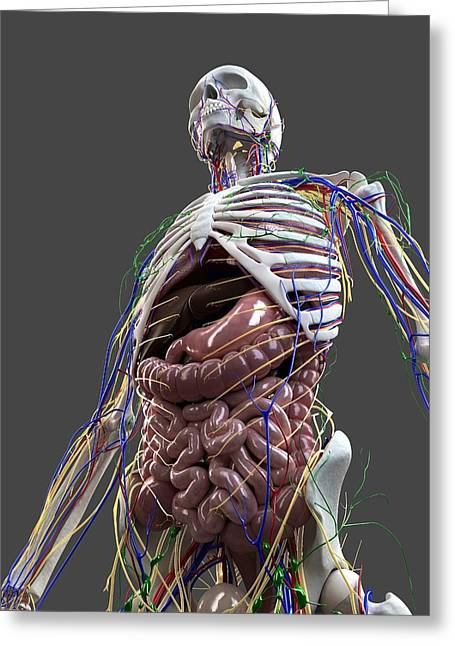 Gi Greeting Cards - Human Anatomy, Artwork Greeting Card by Sciepro