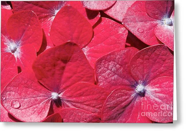 Redish Greeting Cards - Hydrangea closeup Greeting Card by Gaspar Avila