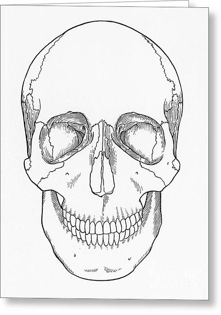 Ethmoid Bone Greeting Cards - Illustration Of Anterior Skull Greeting Card by Science Source