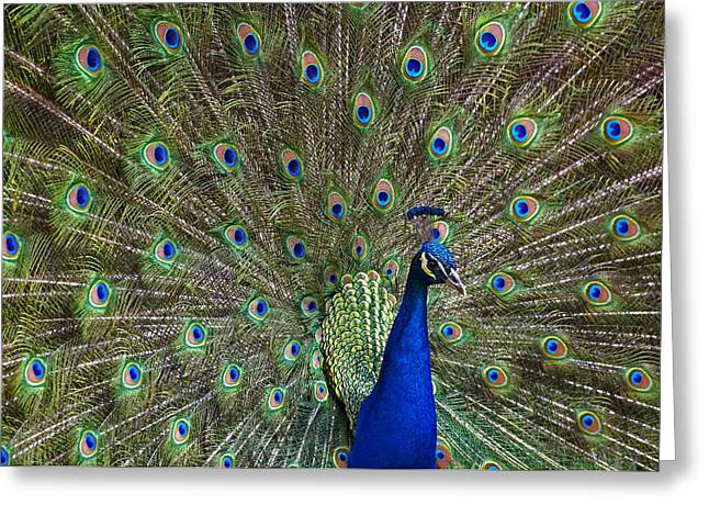 Three-quarter Length Greeting Cards - Indian Peafowl Male With Tail Fanned Greeting Card by Tim Fitzharris