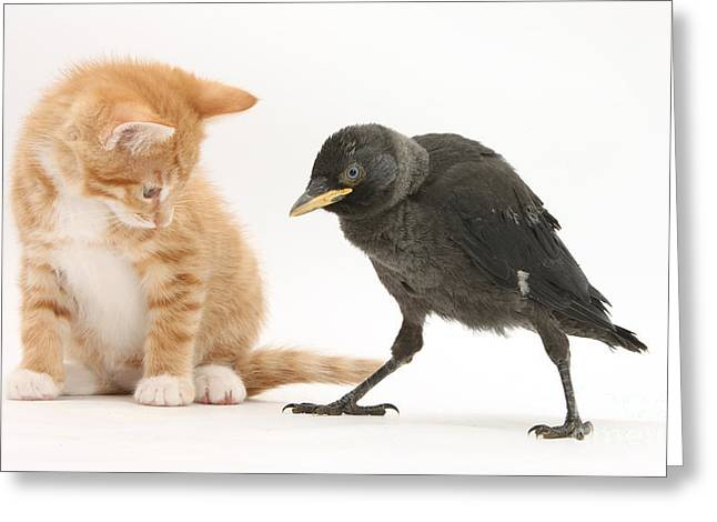 Jackdaws Greeting Cards - Jackdaw And Kitten Greeting Card by Mark Taylor