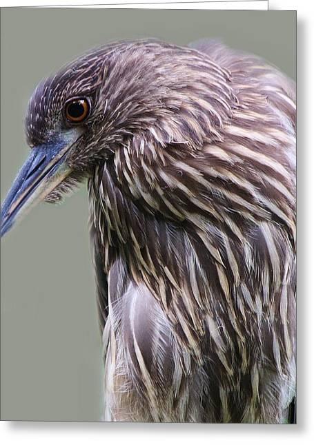 Juvenile Black Crowned Night Heron Greeting Card by Paulette Thomas