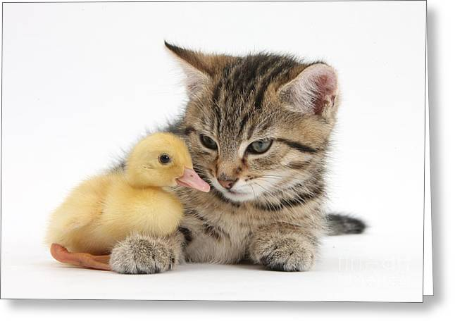 Mixed Species Greeting Cards - Kitten And Duckling Greeting Card by Mark Taylor
