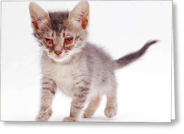 Bacterial Greeting Cards - Kitten With Severe Conjunctivitis Greeting Card by Jane Burton