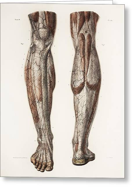 Hand-colored Lithograph Greeting Cards - Leg Anatomy, 19th Century Illustration Greeting Card by