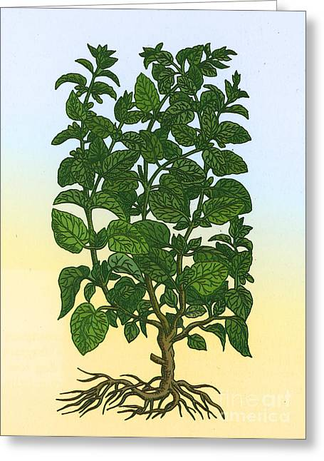 Balm Greeting Cards - Lemon Balm Greeting Card by Science Source