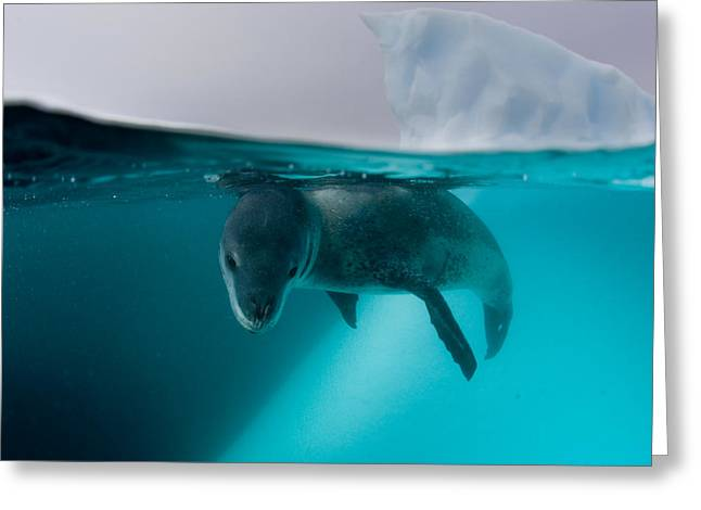 Aquatic Split Level Views Greeting Cards - Leopard Seals Roam So Widely, That Greeting Card by Paul Nicklen