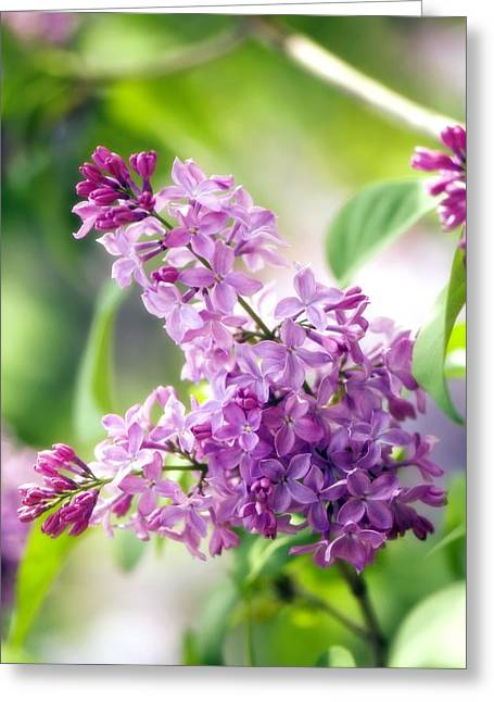 Oleaceae Greeting Cards - Lilac (syringa Vulgaris) Greeting Card by Maria Mosolova