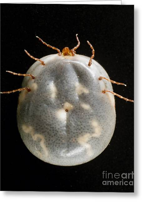 Staris Greeting Cards - Lone Star Tick Greeting Card by Science Source