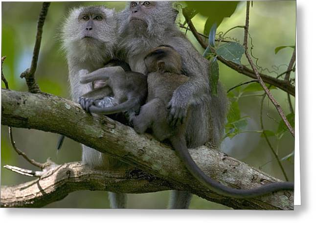 Long-tailed Macaque Macaca Fascicularis Greeting Card by Cyril Ruoso