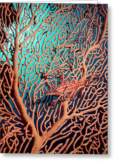 Reef Fish Greeting Cards - Longnose Hawkfish Greeting Card by Georgette Douwma