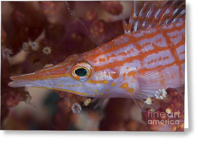 Cnidaria Greeting Cards - Longnose Hawkfish, Solomon Islands Greeting Card by Steve Jones
