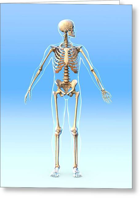Biomechanics Greeting Cards - Male Skeleton, Artwork Greeting Card by Roger Harris