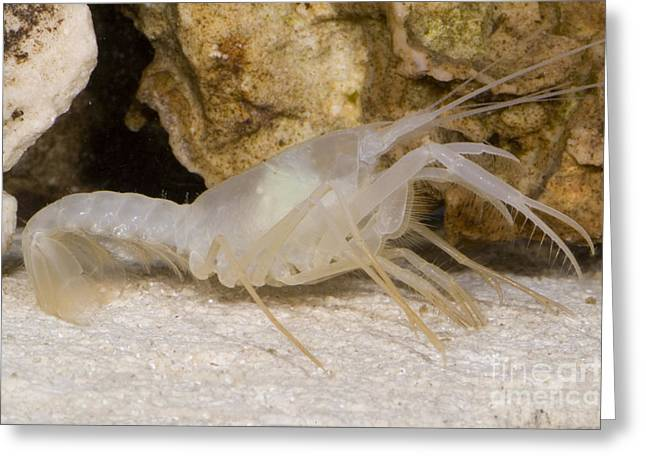 Troglobitic Greeting Cards - Mclanes Cave Crayfish Greeting Card by Dante Fenolio