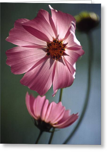 Aster Greeting Cards - Mexican Aster (cosmos Bipinnatus) Greeting Card by Dr. Nick Kurzenko