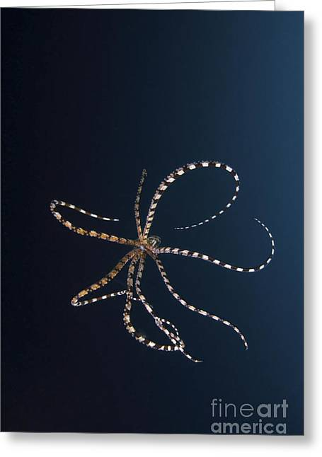 Cephalopod Greeting Cards - Mimic Octopus, North Sulawesi Greeting Card by Mathieu Meur