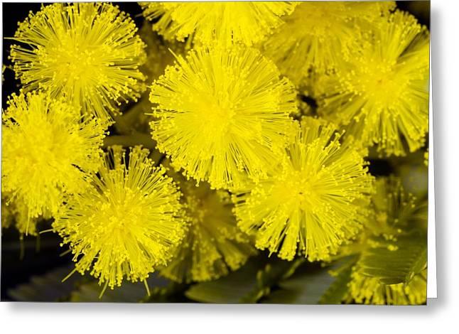 Mimosa Flowers Greeting Cards - Mimosa (acacia Dealbata Subalpina) Greeting Card by Dr Keith Wheeler