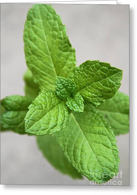 Spearmint Greeting Cards - Mint Greeting Card by Photo Researchers, Inc.