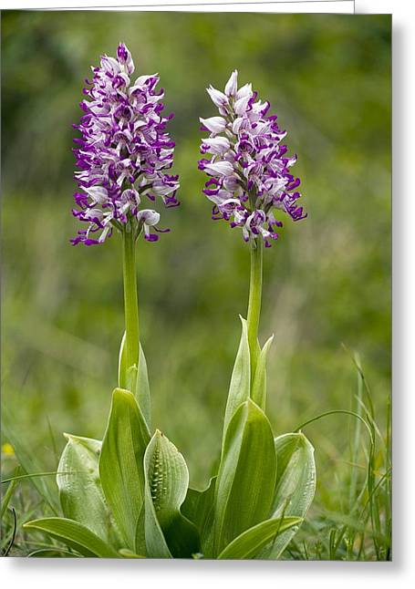 Monkey Orchid (orchis Simia) Greeting Card by Bob Gibbons