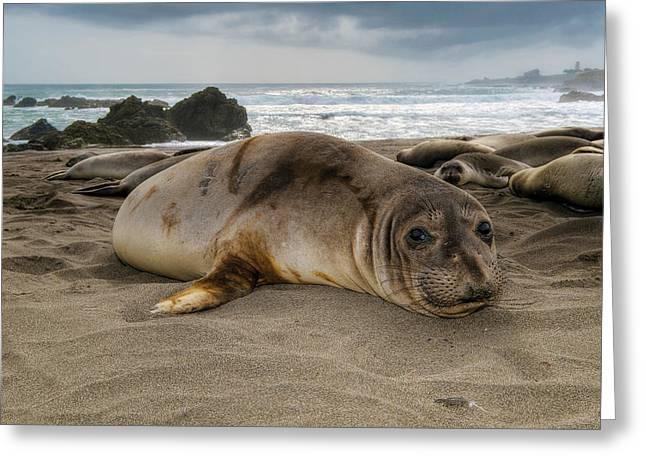 Best Sellers -  - Elephant Seals Greeting Cards - Northern Elephant Seal  mirounga angustirostris Greeting Card by Eyal Nahmias