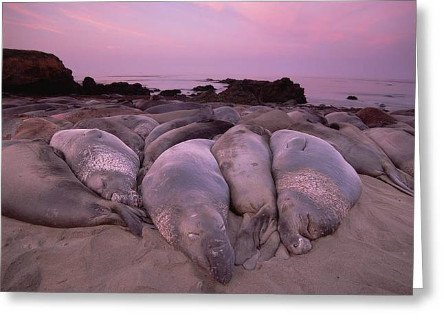 Big Sur Beach Greeting Cards - Northern Elephant Seal Mirounga Greeting Card by Tim Fitzharris