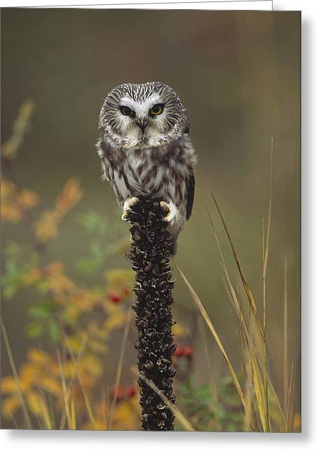 Saw Greeting Cards - Northern Saw Whet Owl Perching Greeting Card by Tim Fitzharris