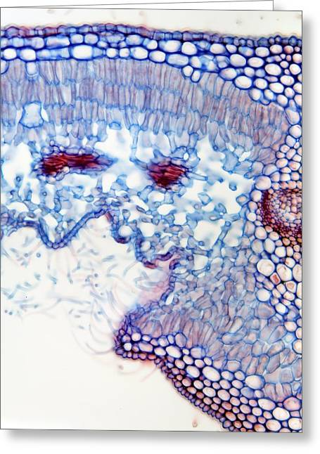Xylem Vessels Greeting Cards - Oleander Leaf, Light Micrograph Greeting Card by Dr Keith Wheeler