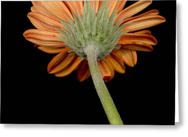 Orange Gerber Greeting Card by Al Hurley
