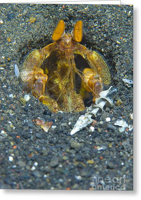 Orange Mantis Shrimp In Its Burrow Greeting Card by Steve Jones