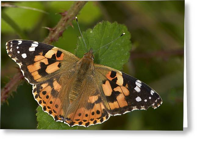 Painted Lady Butterflies Greeting Cards - Painted Lady Butterfly Greeting Card by Adrian Bicker