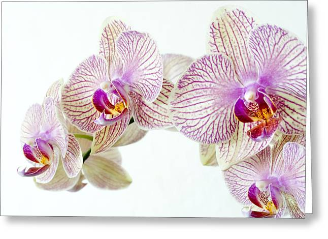 Phalaenopsis Orchid (phalaenopsis Sp.) Greeting Card by Lawrence Lawry