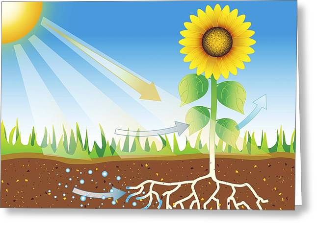 Energy Conversion Greeting Cards - Photosynthesis, Artwork Greeting Card by David Nicholls