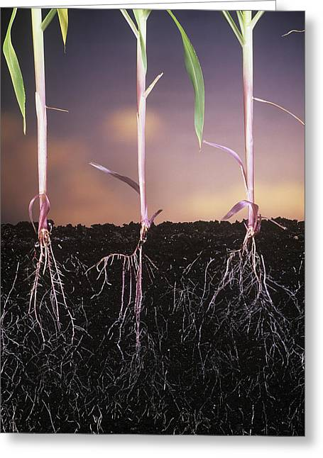 Plant Roots Greeting Cards - Plant Roots Greeting Card by David Nunuk