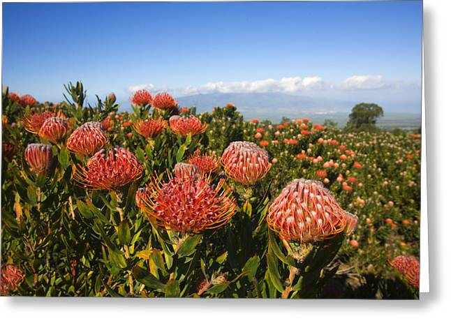 Orange Pin Cushion Greeting Cards - Protea Blossoms Greeting Card by Ron Dahlquist - Printscapes