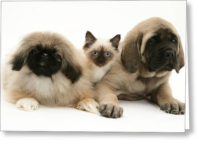 Mastiff Pup Greeting Cards - Puppies And Kitten Greeting Card by Jane Burton