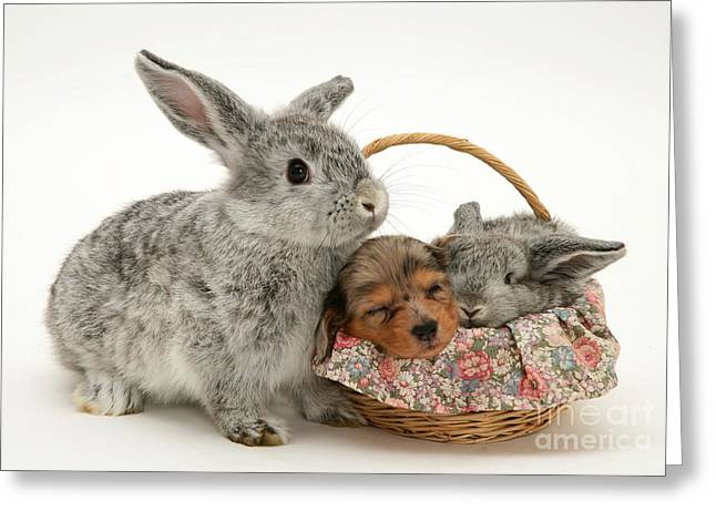 Miniature Dachshund Greeting Cards - Puppies And Rabbit Greeting Card by Jane Burton