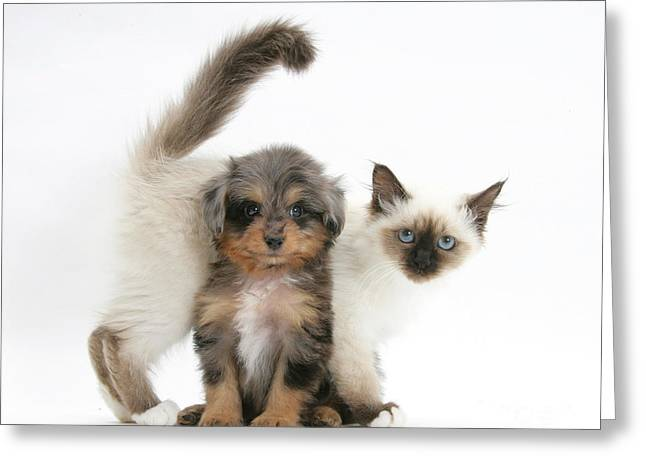 Domesticated Animal Greeting Cards - Puppy And Kitten Greeting Card by Mark Taylor