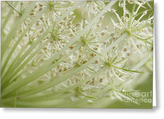 Maine Meadow Greeting Cards - Queen Annes Lace Greeting Card by Cindi Ressler