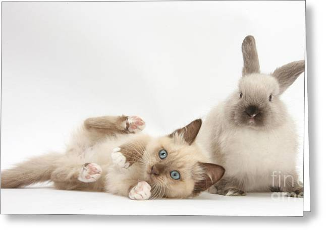 Colourpoint Greeting Cards - Ragdoll-cross Kitten And Young Greeting Card by Mark Taylor