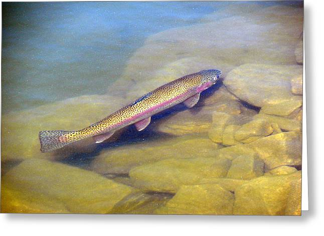 Rainbow Trout Greeting Cards - Rainbow Trout Greeting Card by Phyllis Ezit