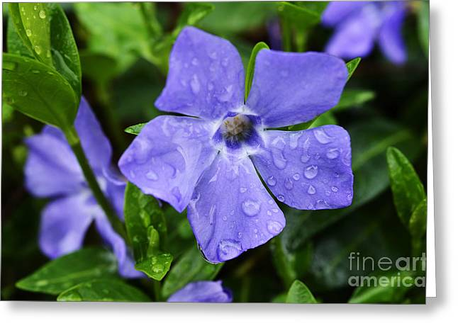 Vinca Greeting Cards - Raindrops on Sorcerers Violet Greeting Card by Thomas R Fletcher