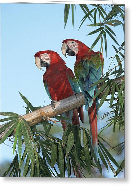 Low Wing Photographs Greeting Cards - Red And Green Macaw Ara Chloroptera Greeting Card by Konrad Wothe
