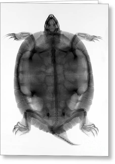 Red-eared Greeting Cards - Red-eared Slider Turtle X-ray Greeting Card by Ted Kinsman